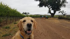 Tacos & Tails - Dog Walk in the Vineyard @ Zaca Mesa Winery | Los Olivos | CA | United States