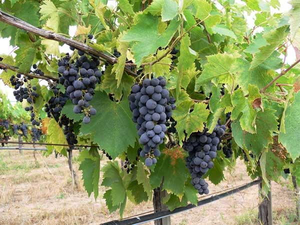 michaud-vineyard-grapes-2-600px