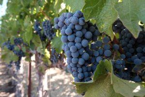 2019 Vista Collina Harvest Vineyard Edu-excursion: Saturday, September 14th @ The Wine Foundry   Napa   CA   US