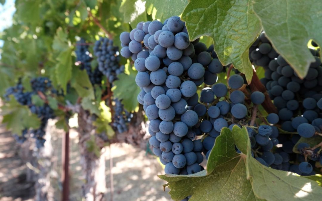 2019 Vista Collina Harvest Vineyard Edu-excursion: Thursday, October 3rd