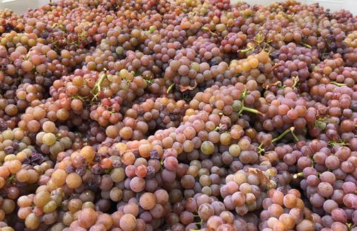 September Tasting Room Open House – Name that Grape