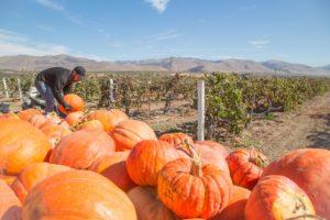 Halloween Pumpkin Decorating @ Riverbench Vineyard and Winery | Santa Maria | CA | US