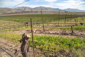 Virtual Vineyard Tour: Grafting Vines with Jim Stollberg