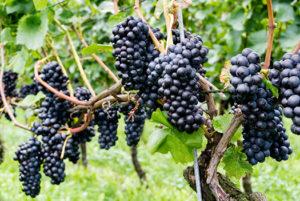 Willamette Pinot Noir Grapes Ready for Harvest